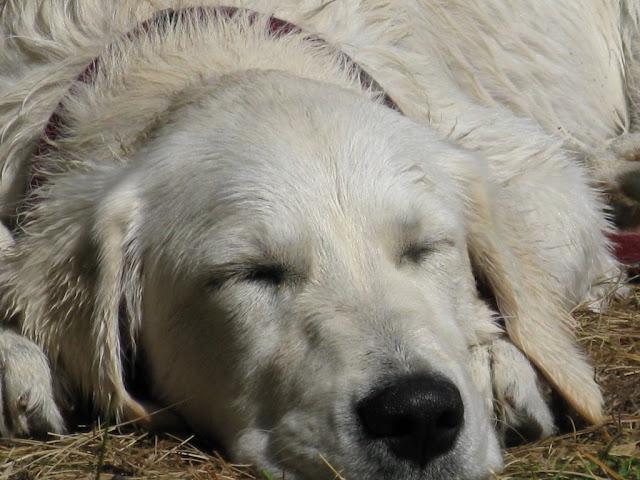 Goldenek śpi