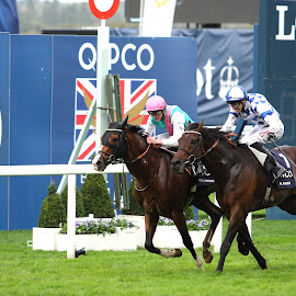 Photo Finish  by Steve Cowling - Sports & Fitness Other Sports ( champion stakes, champions day 2014, steve cowling, al kazeem, ascot, noble mission )