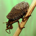 Ferocious Water Bug with Eggs