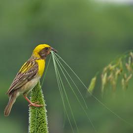 Nestig time by Kishan Meena - Animals Birds ( bird, nature, weaver, baya, wildlife, nesting time )