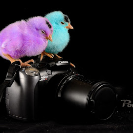 canon sx with chicken by Mohamed Mahdy - Artistic Objects Technology Objects ( canon, chicken, nikon., sx10 is, color, camera, canon sx10 is, chickens, sx10 )
