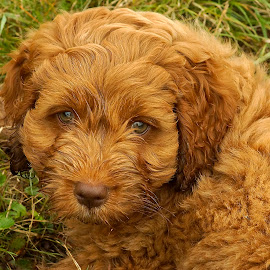 by Helen Bagley - Animals - Dogs Puppies ( brown eyes, puppies, cockapoo, dogs, browns, puppy, brown hair,  )