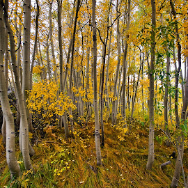 Aspens in the Fall by Patrick Flood - Landscapes Forests ( canon, photosbyflood, bishop, fall colors, aspen grove, eastern sierra, north fork, fall, lake sabrina )