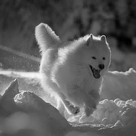 by Anders Isaksson - Animals - Dogs Running