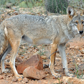 Coyote by Dawn Hoehn Hagler - Animals Other Mammals ( coyote, desert museum, zoo, tucson, dog )