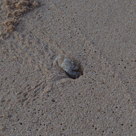 Ghost Crab by Charles Crum - Animals Sea Creatures ( sand, beach, ghost crab, crab, hole )