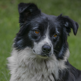 Collie by Pax Bell - Animals - Dogs Portraits ( collie dog, sheep dog )