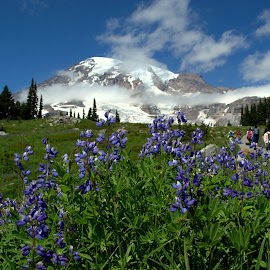 Mount Rainier Wild Flowers by Naveen Ds - Landscapes Mountains & Hills ( clouds, blue, mount rainier, snow, summer, nikon, wild flowers )