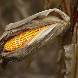 Corn on the cob by Tony Powers - Nature Up Close Gardens & Produce ( farm, agriculture, vegetable, corn, produce )