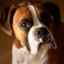 Did you say something? by Liz Childs - Animals - Dogs Portraits ( side lighting, boxer, dog, oscar, portrait )