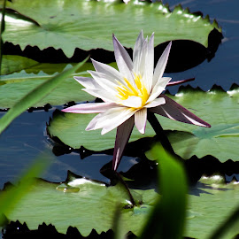Water Lily by Sristi Yadav - Novices Only Flowers & Plants ( lake, leaf, water lily, flower )