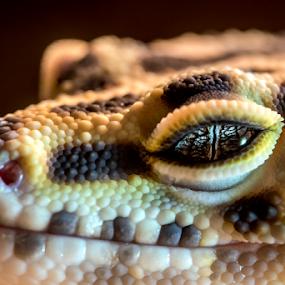 Leopard Gecko by Kain Dear - Animals Reptiles ( scales, gecko, texture, yellow, black, leopard, eye )