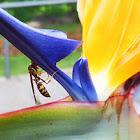 Vespa (Wasp)