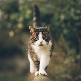 Just Because by Dominic Lemoine Photography - Animals - Cats Portraits ( cats, walking, cat, leaves, bokeh )