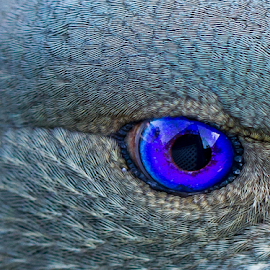 Looking at you... by Gary Beresford - Animals Birds ( queensland, macro photography, lamington, australia, satin bowerbird, bowerbird, rainforest )