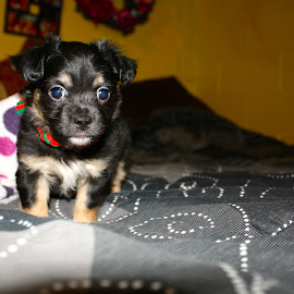 by Laura McCreery - Animals - Dogs Puppies