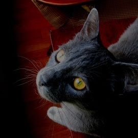 BUDDY by Gary Colwell - Animals - Cats Portraits ( buddy, cat, grey, light, eyes,  )