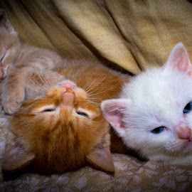Chillin by Paul Mays - Animals - Cats Kittens