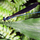 Forest Damselfly
