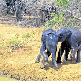 Baby elephants playing by Jaliya Rasaputra - Animals Other Mammals