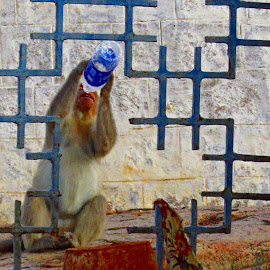 thirsty monkey by Venkat Krish - Animals Other ( #monkey #water #thirst #fence #freedom )