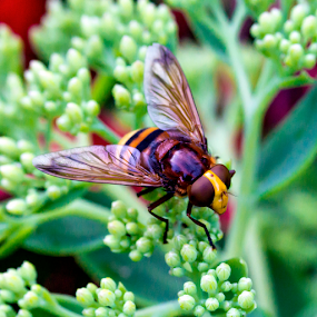 Hover Fly by Kain Dear - Animals Insects & Spiders ( macro, fly, hover, yellow, insect, flower, close )