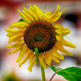 by Maja  Marjanovic - Flowers Single Flower ( sunflower, flowers, flower )