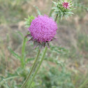 Wild Musk Thistle Weed