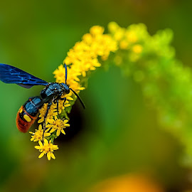 Black and Yellow by Gary McDaniel - Animals Insects & Spiders ( wasp, bee, green, nature up close, yellow, flowerswasp, flowers )