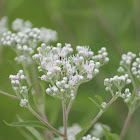 late boneset or late thoroughwort