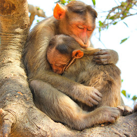 Cute Monkey by Pankaj Waghmare - Animals Other Mammals ( adorable, sleeping, cute, monkey, animal,  )