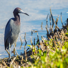 Birds of Florida by Wendy Oster - Novices Only Wildlife ( herons, birds )