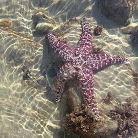 Sun Bathing  by Angela  H - Animals Sea Creatures ( sea life, underwater, starfish, clearwater, beach, perfect,  )