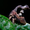 Cladonota treehopper