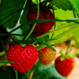 Home grown strawbs by Shona McQuilken - Food & Drink Fruits & Vegetables ( plant, home, scotland, red, grown, fresh, green, strawberry )