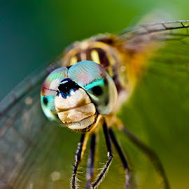 Dragon Fly by GPictoria -Gopu's Photography - Animals Insects & Spiders ( macro, dragon fly, bug, insects, close up )