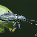 Metallic green weevil