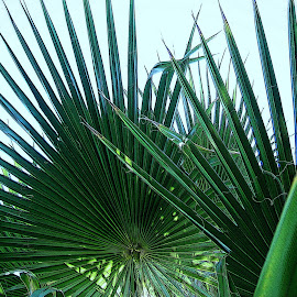 Palm leaves by B l  Beirne - Nature Up Close Leaves & Grasses ( palm tree leaves, palm, palm tree, green, leaves )