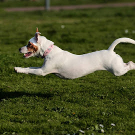 Jack Russel  by Alessandra Cassola - Animals - Dogs Running ( #running, #jack russel, #dog, #animal )