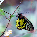 Golden Birdwing (金裳鳳蝶)