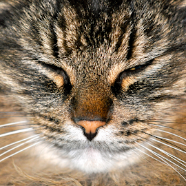 Cat by Keith Sutherland - Animals - Cats Portraits ( cat, mature, male, fur )