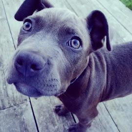 by Heather Altenburg - Animals - Dogs Puppies