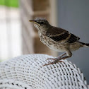 Brown Thrasher (fledgling)