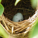 Red-winged Blackbird Egg