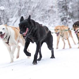 Pulling Hard by Bruce Wayne - Animals - Dogs Running ( dogs, tongues, mushing, team, iditarod,  )