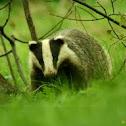 Meles meles - Badger