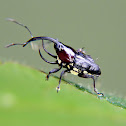 Trihorned baridine weevil