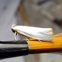 Gelechioid Moth