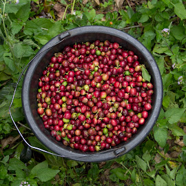 Coffee Beans by Matthew Sam - Food & Drink Fruits & Vegetables ( fruit, red, coffee beans, beans, colors, food, coffee, beverages, ripe, drinks, starbucks )