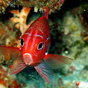 Red Squirrelfish